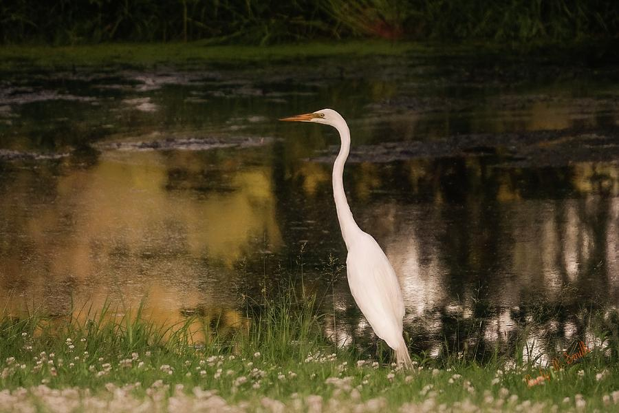 White Egret standing near small pond. by Rusty R Smith
