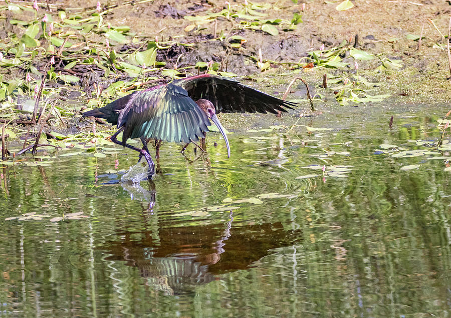 White Faced Ibis 2 by Michael Chatt