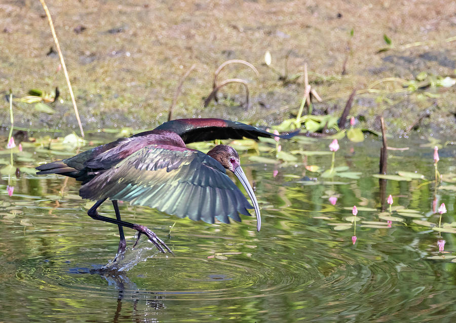 White Faced Ibis 3 by Michael Chatt
