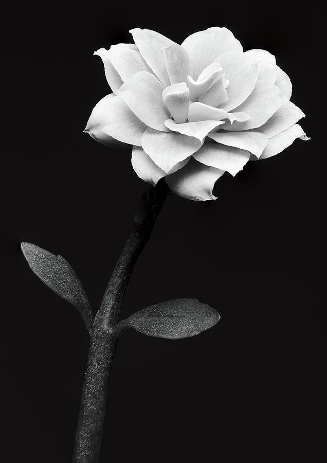 White Flower by Anders Kustas