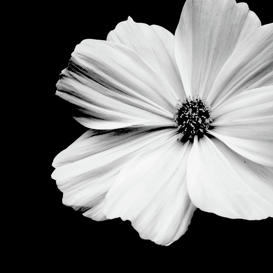 White Flower On Black Background Photograph by © Kara Pecknold