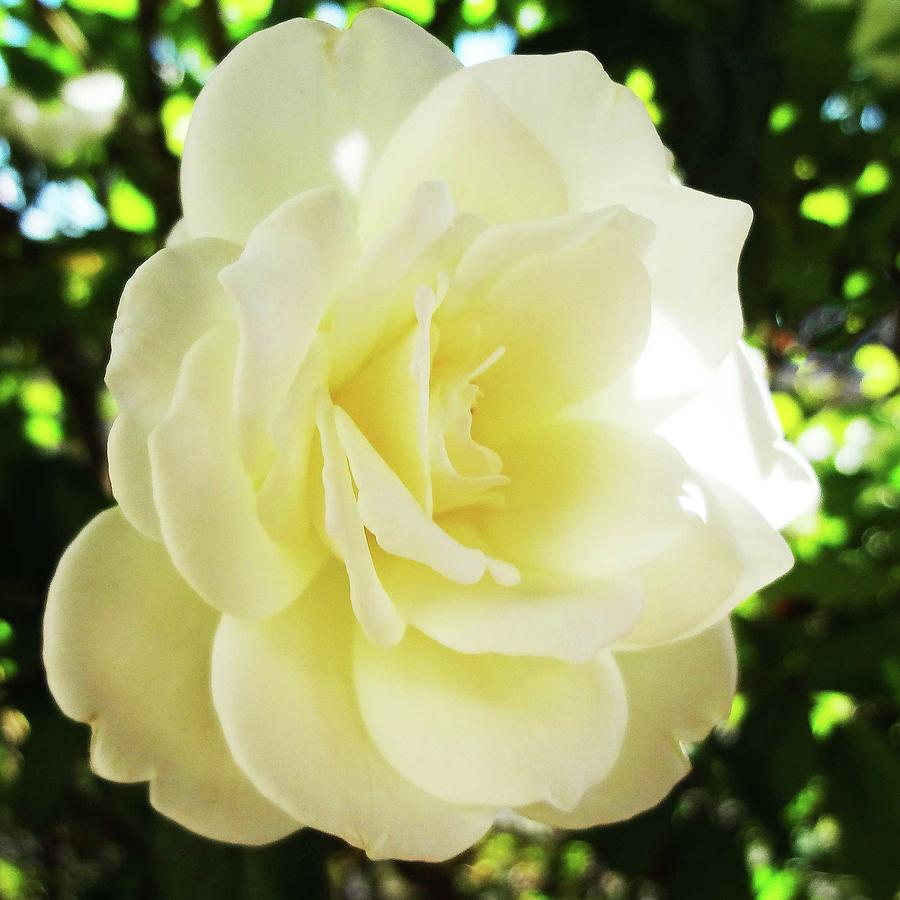 Flowers Photograph - White Rose Petals 2  by Bruce Iorio