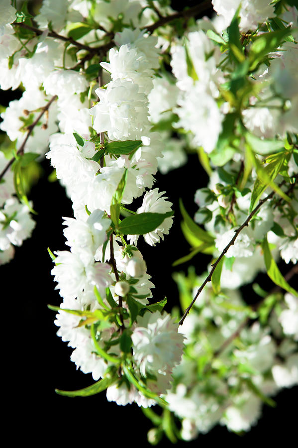 White flowers by Anna Kluba