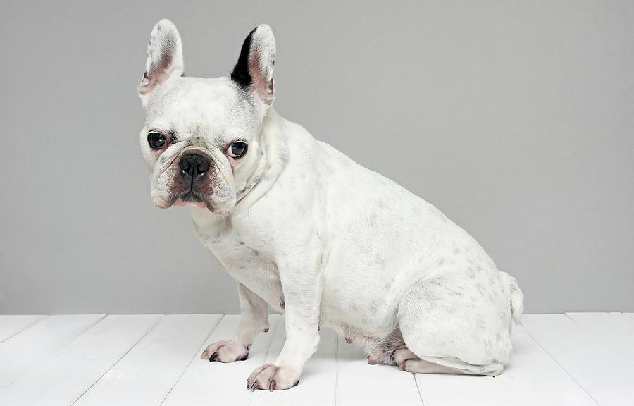 White French Bulldog Photograph by Retales Botijero