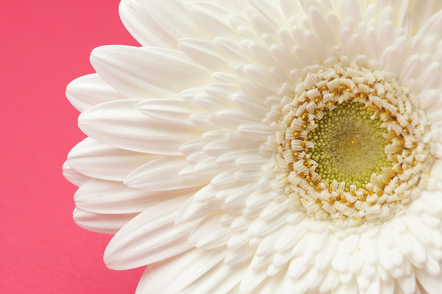 White Gerbera Daisy On Pink Background Photograph by Jill Fromer