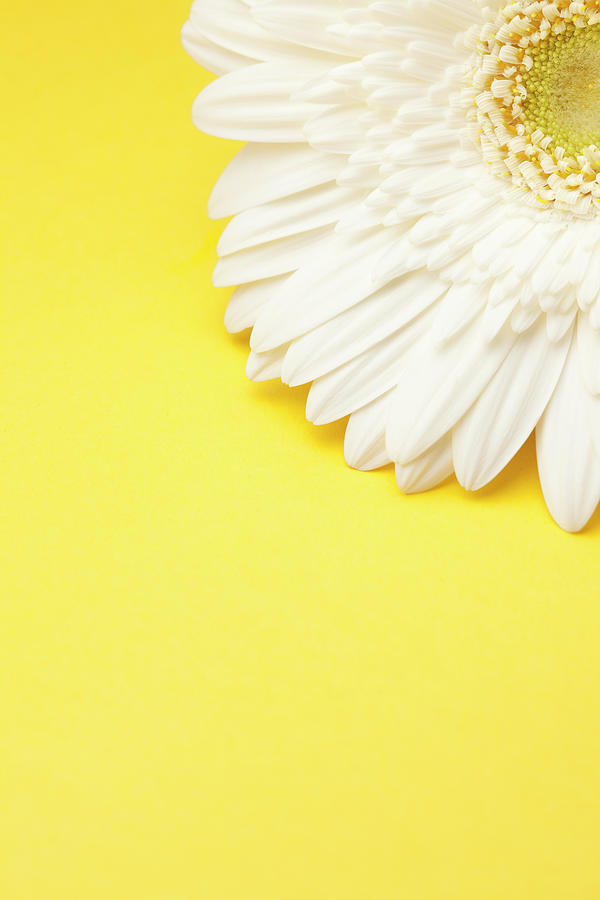 White Gerbera Daisy With Yellow Photograph by Jill Fromer