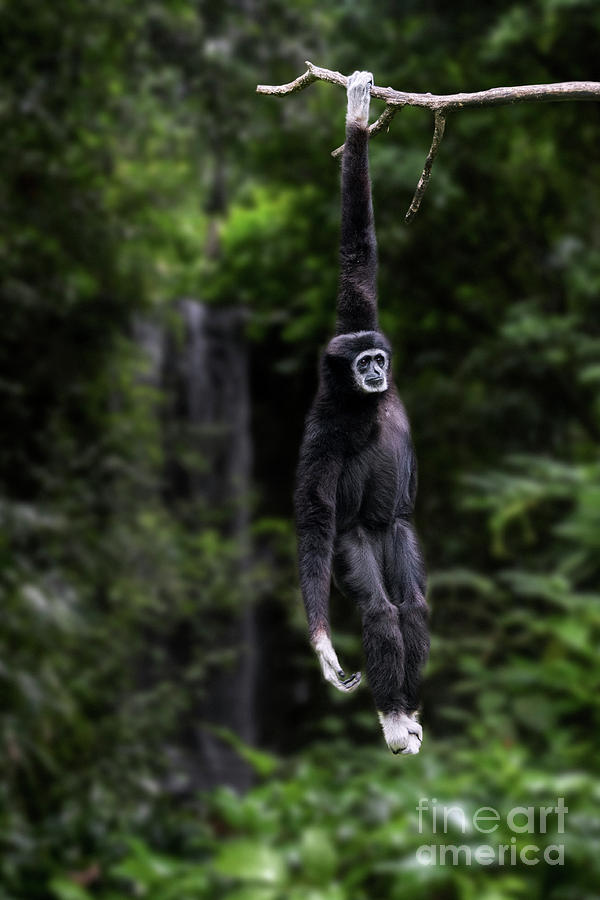 White-handed Gibbon by Arterra Picture Library