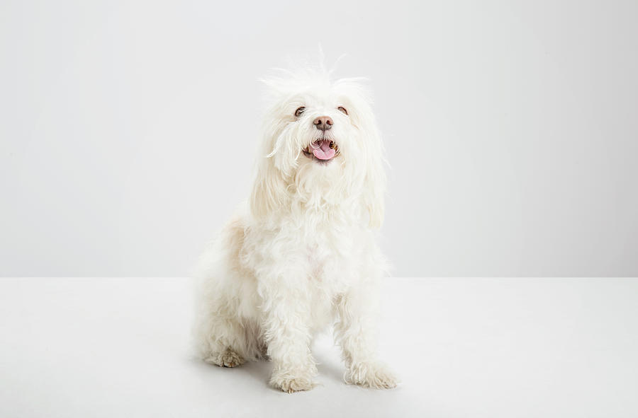 White Havanese Dog, Looking To Camera Photograph by Jw Ltd