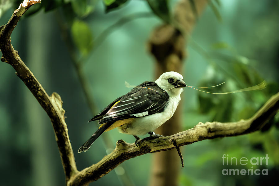White Headed Buffalo Weaver by Jon Burch Photography