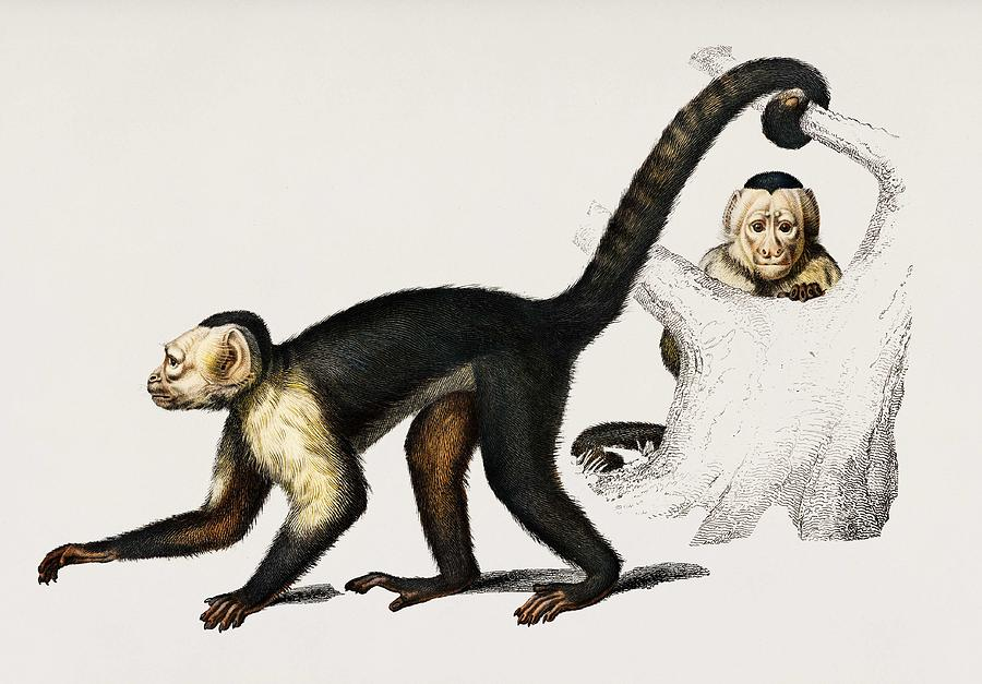 White headed capuchin  Cebus Hypoleucus  illustrated by Charles Dessalines D Orbigny  1806 1876  2 by Celestial Images