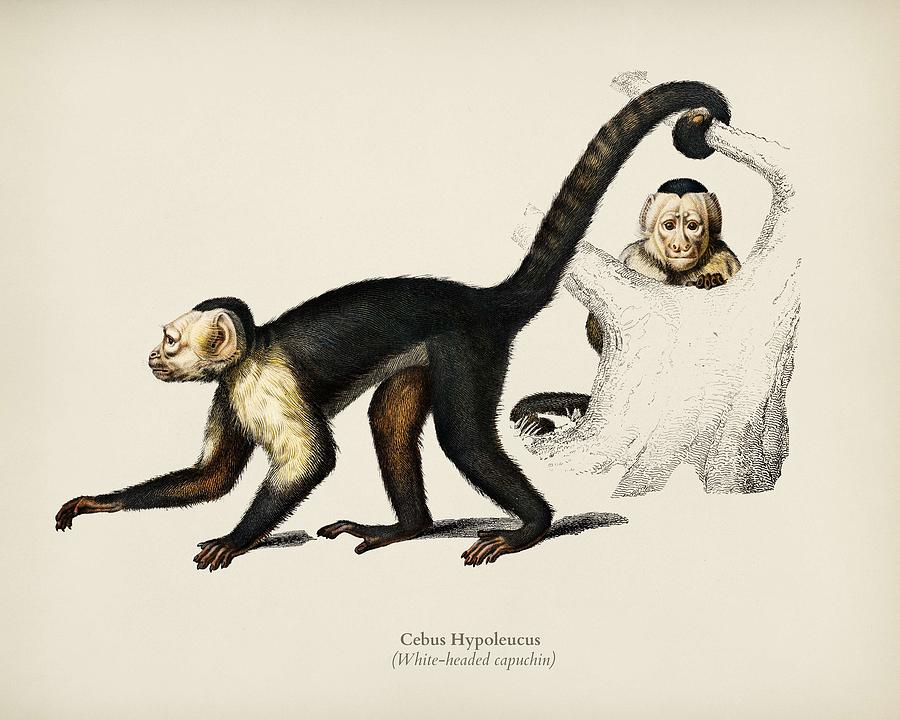 White headed capuchin  Cebus Hypoleucus illustrated by Charles Dessalines D Orbigny  1806 1876   by Celestial Images