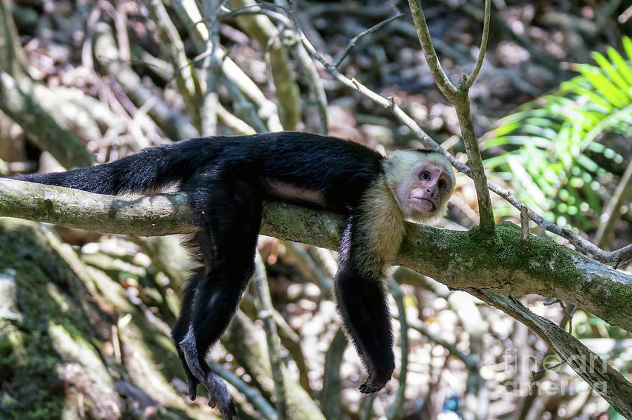 White headed capuchin monkey resting by Ulysse Pixel