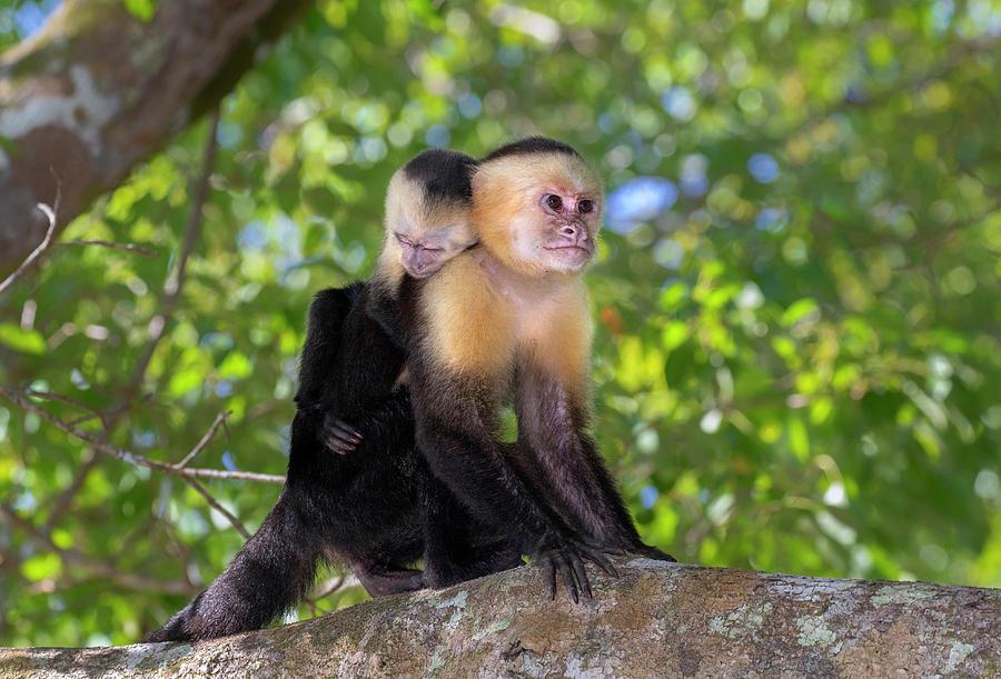 Animal Photograph - White-headed Capuchin With Baby by Ivan Kuzmin