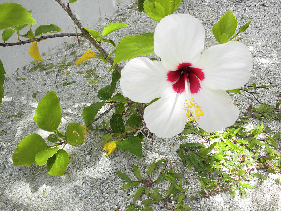 White Hibiscus by Randall Saltys