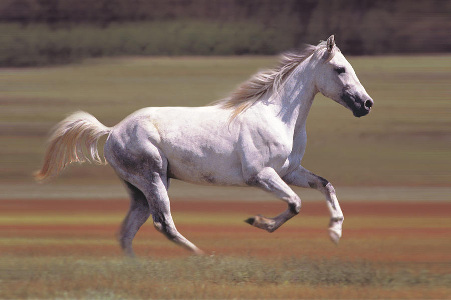 White Horse Running In Field Photograph by Comstock
