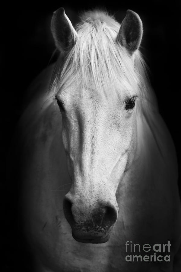 Equestrian Photograph - White Horses Black And White Art by Matej Kastelic