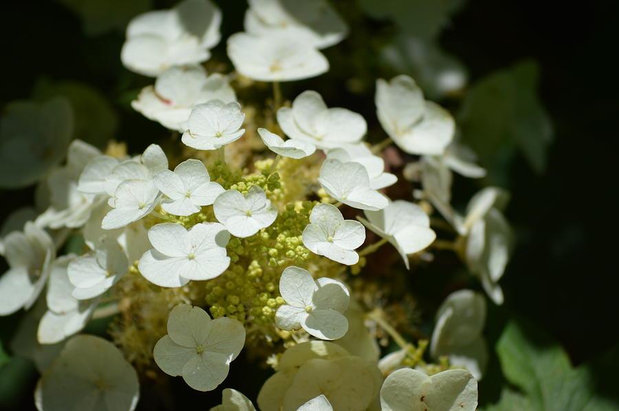 White Hydrangea Photograph