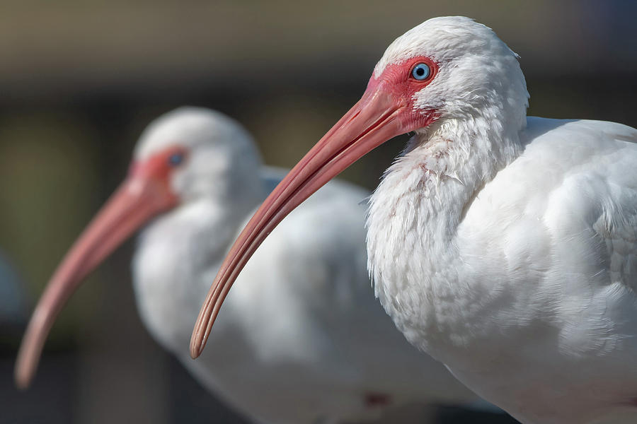 White Ibis by Ken Stampfer