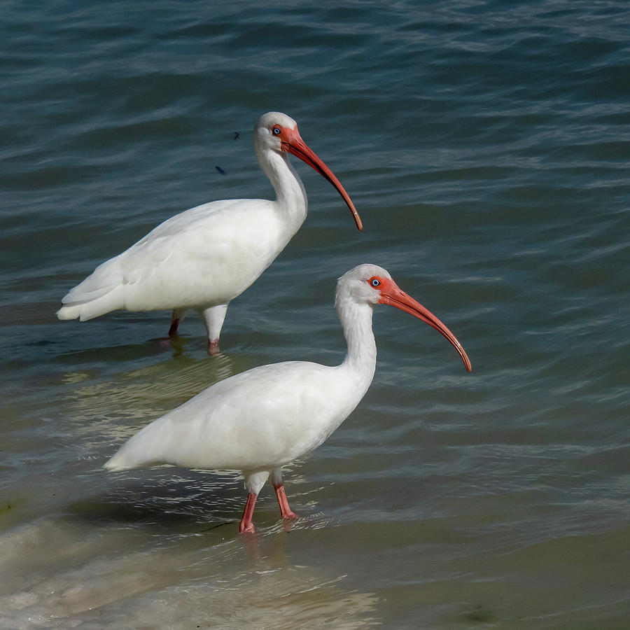 White Ibis Pair by Ken Stampfer