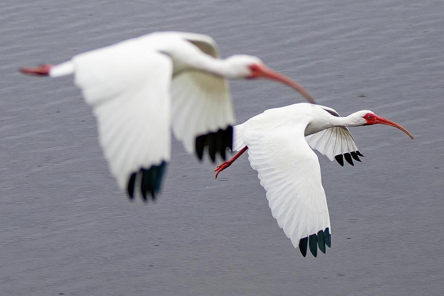 White Ibises  by Tim Kirchoff