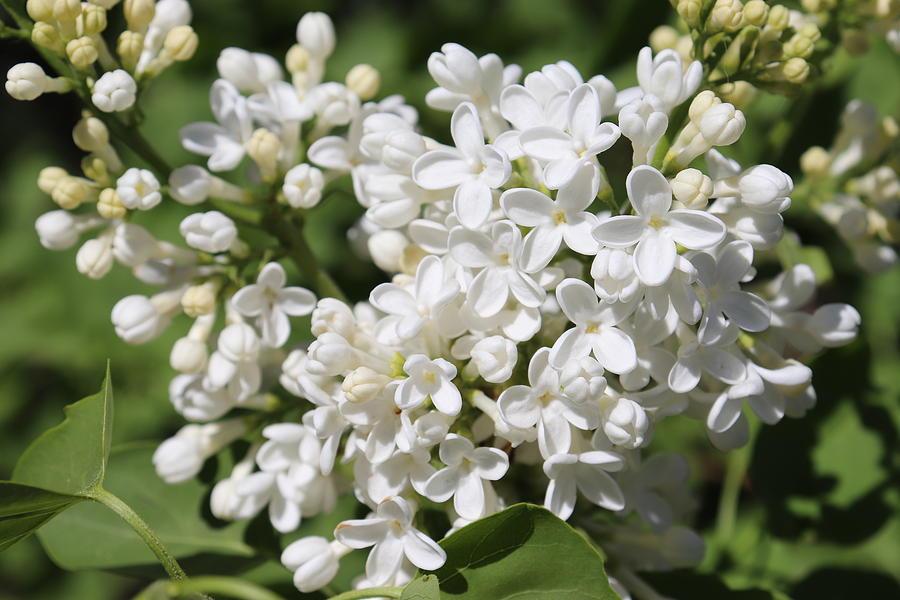 White Lilac Blossoms by TJ Fox