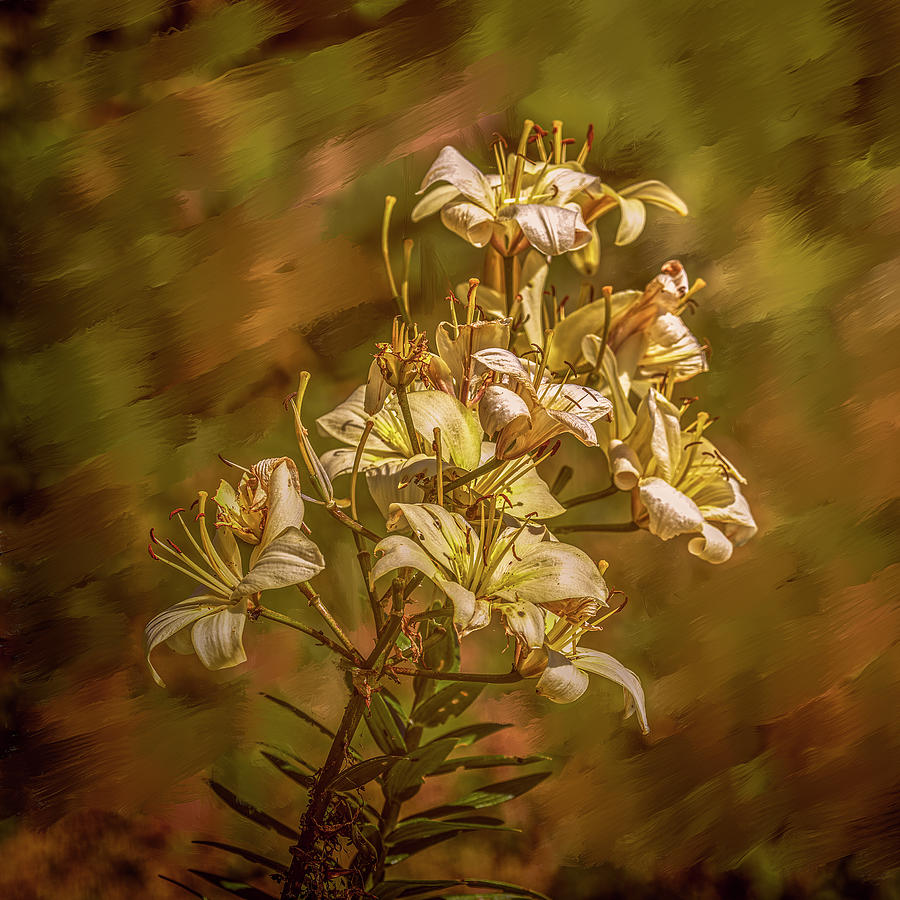 white lilies aug- by Leif Sohlman