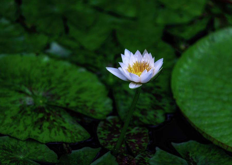 White Lotus by Jade Moon