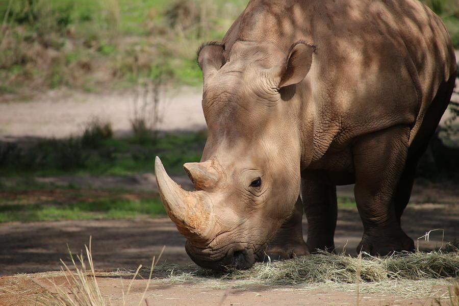 Rhino Photograph - White Lone Rhino by Alina Avanesian