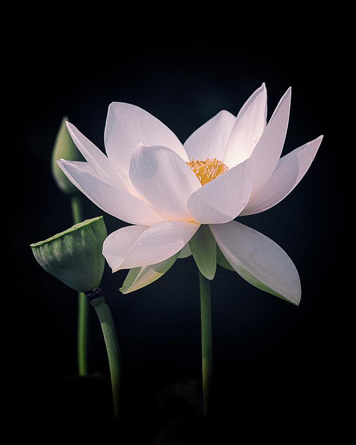 White Lotus Flower by Julie Palencia