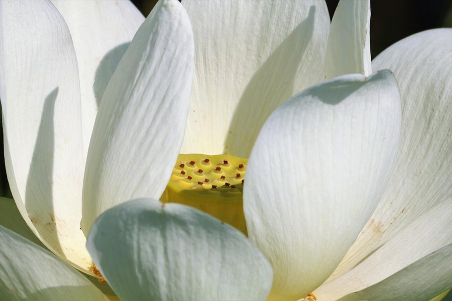 White Lotus Flower by Sheila Brown