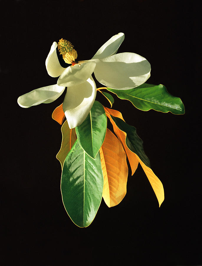 White Magnolia Flowers With Leaves Photograph by Diane Miller
