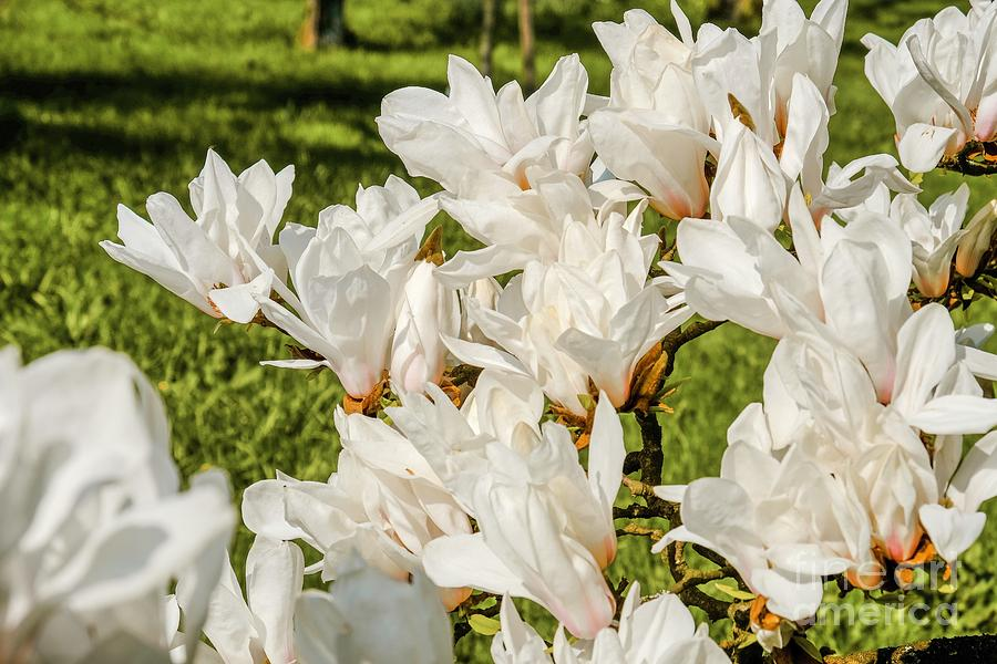 White Magnolien blooming by Marina Usmanskaya