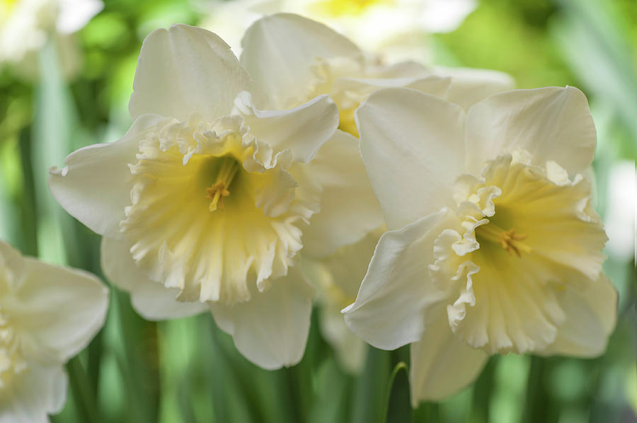 White Narcissus Ice Follies 1 by Jenny Rainbow