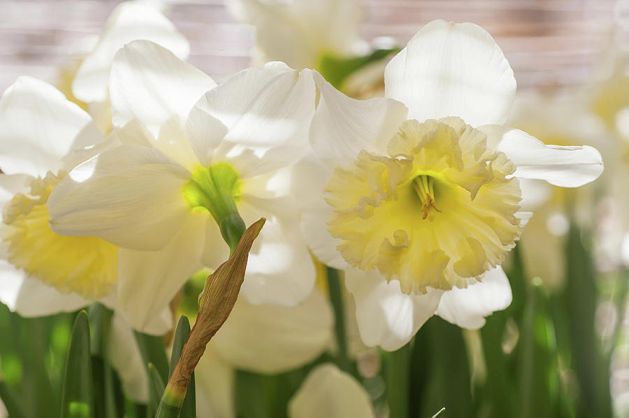 White Narcissus Ice Follies 2 by Jenny Rainbow