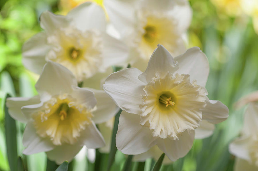 White Narcissus Ice Follies by Jenny Rainbow