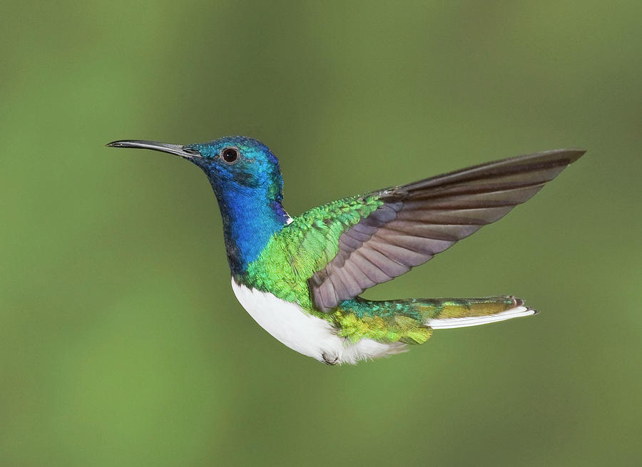 White-necked Jacobin Photograph by Image By David G Hemmings