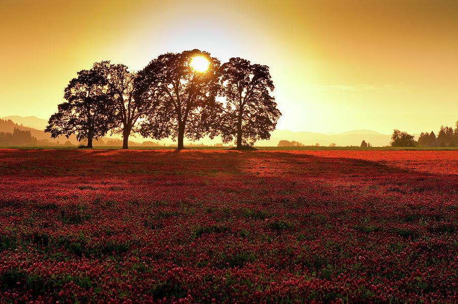 White Oak Trees With Field At Sunset Photograph by Jason Harris