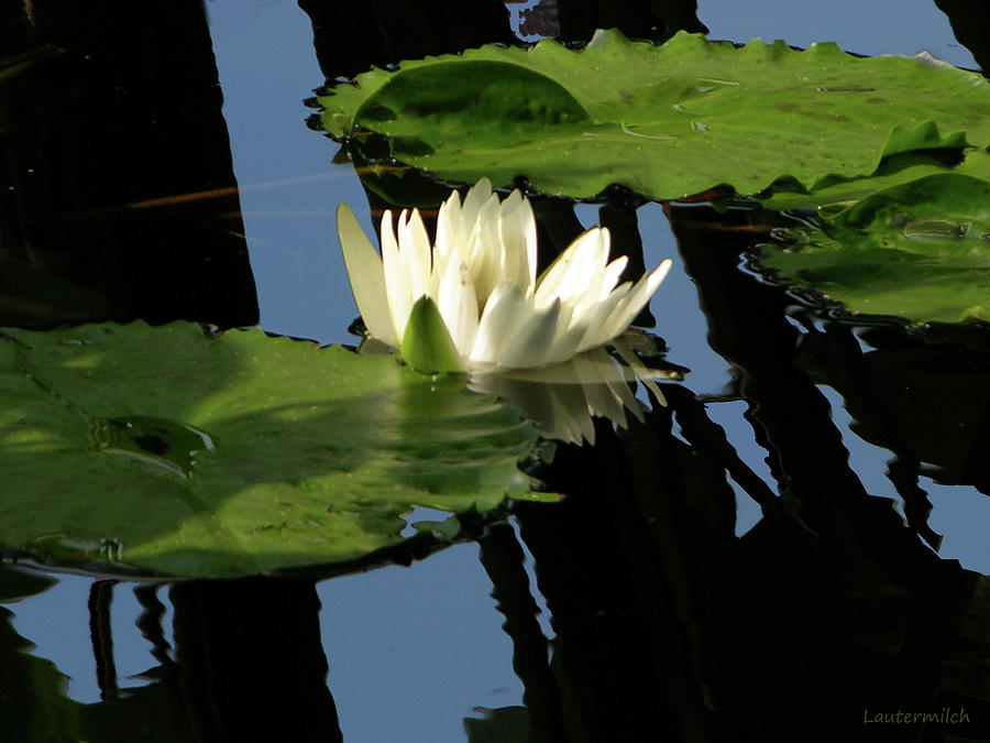 Water Lily Photograph - White on Black by John Lautermilch