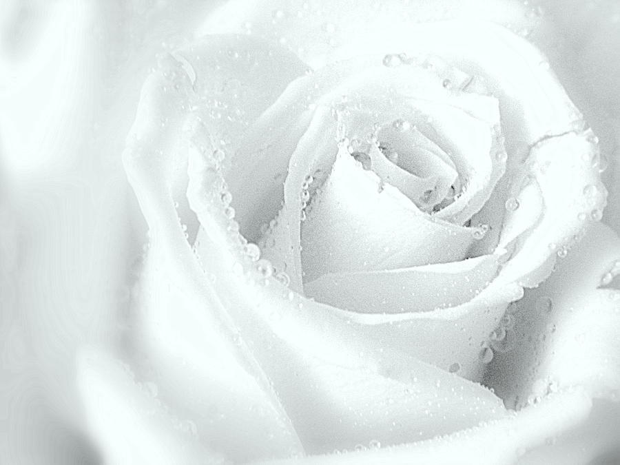 Rose Photograph - White On White by Arlane Crump