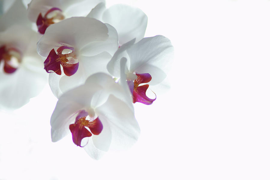 White Orchid Blossoms Photograph by Photography By Spencer Bowman