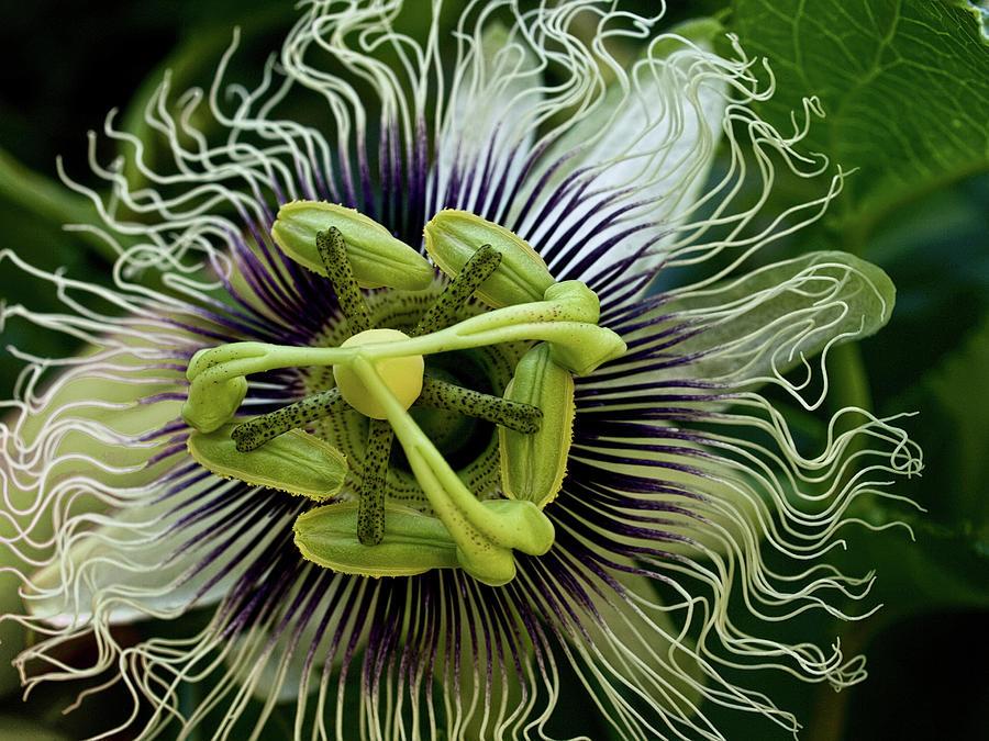 White Passion Flower Photograph by Celeste Mookherjee