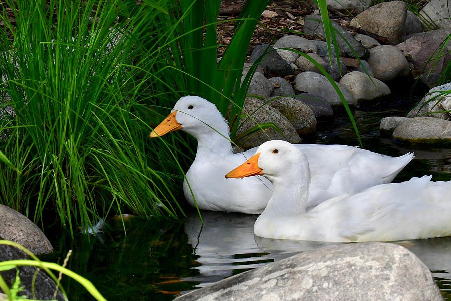 White Pekin Ducks by Michael Peychich