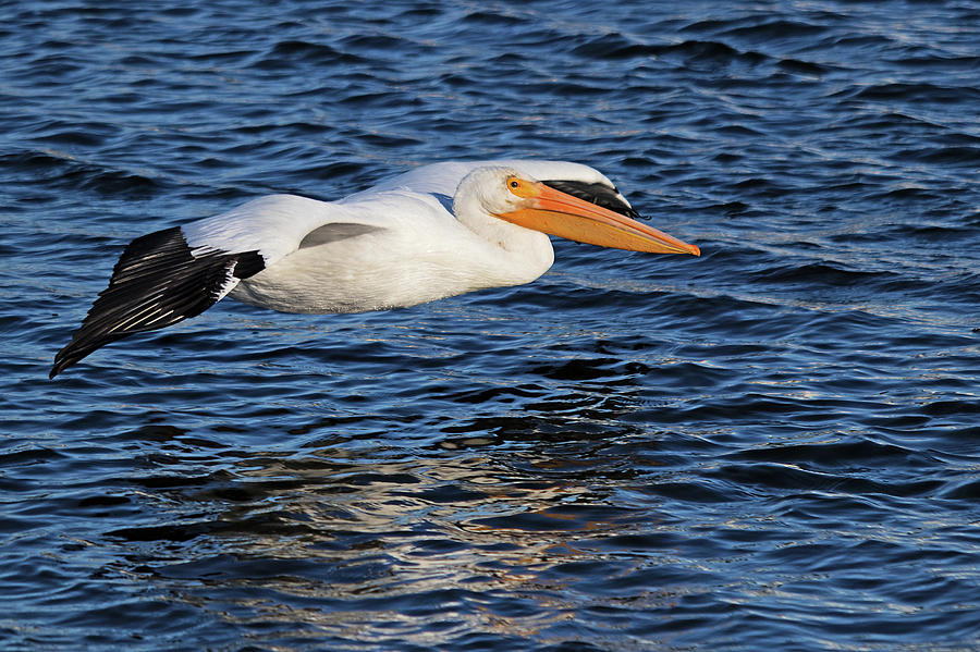White Pelican Cruising by Karl Ford