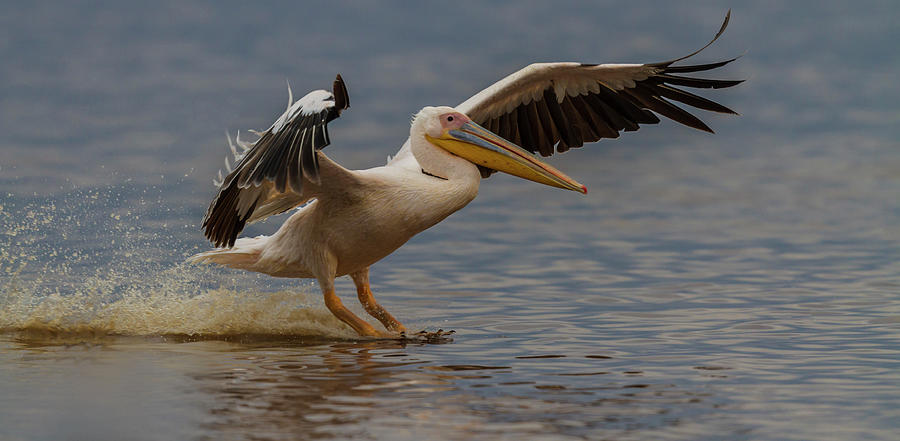White Pelican Landing Photograph by Manoj Shah