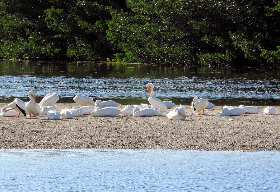 White Pelican Rest by Rosalie Scanlon