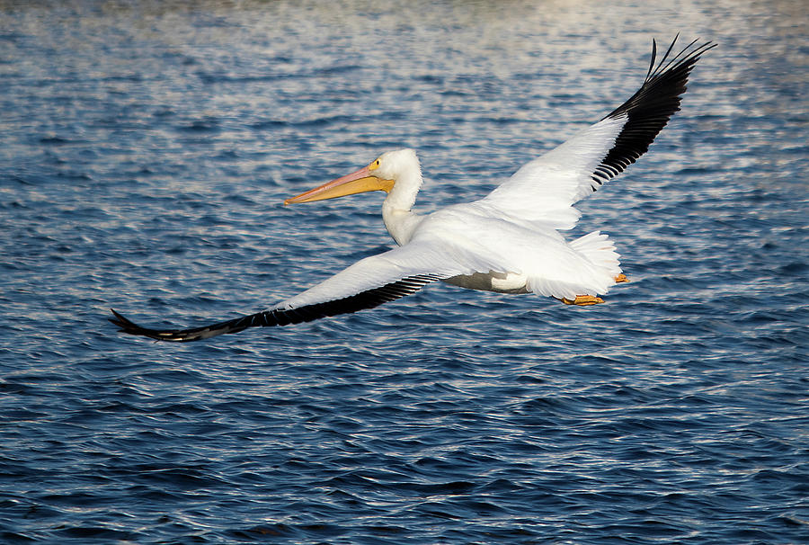White Pelican Wingspan by Karl Ford