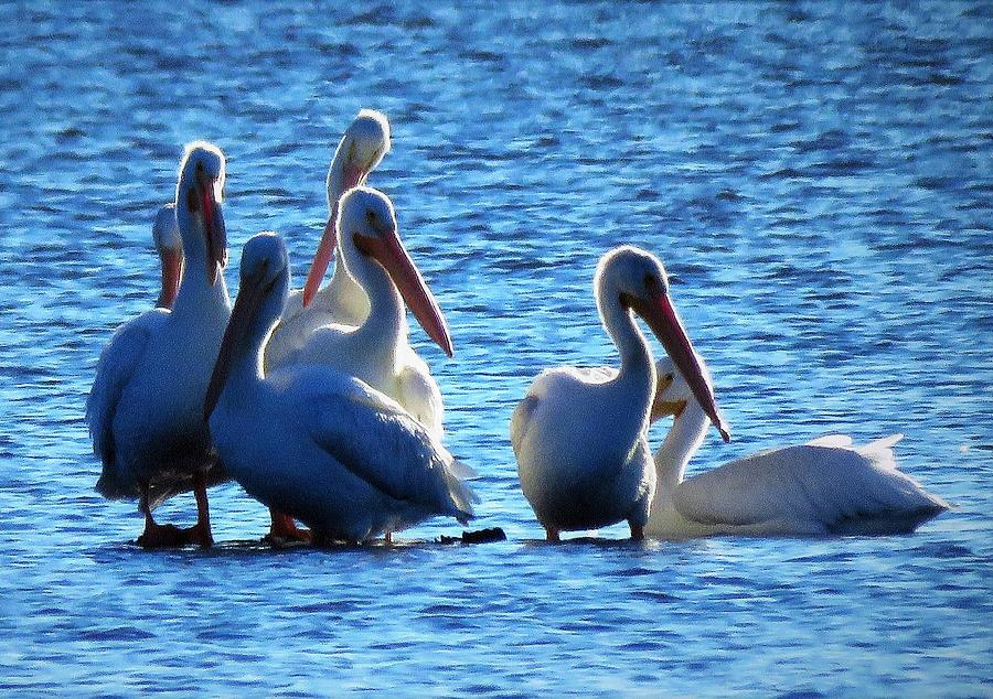 Pelicans Photograph - White Pelicans In Blue  by Lori Frisch