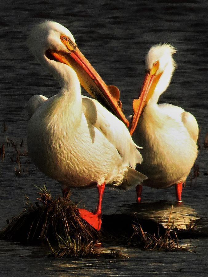 Pelicans Photograph - White Pelicans In Evening Light  by Lori Frisch