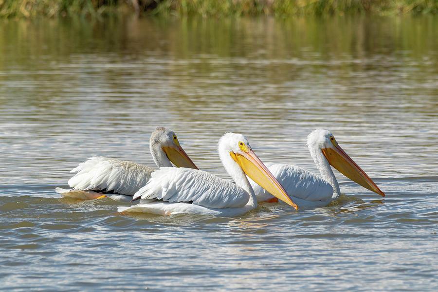 White Pelicans by Michael Chatt