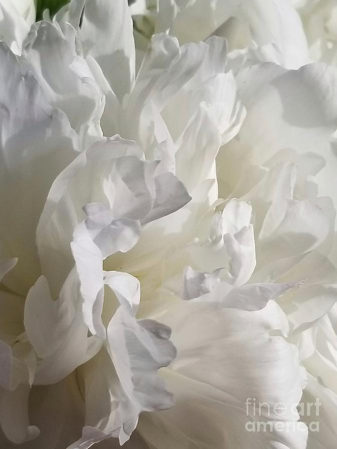 White Peony Bloom by Rachel Hannah